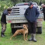 A pig hunting dog awaits aversion training.