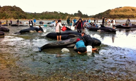 Volunteers helping pilot whales stranded at Farewell Spit.