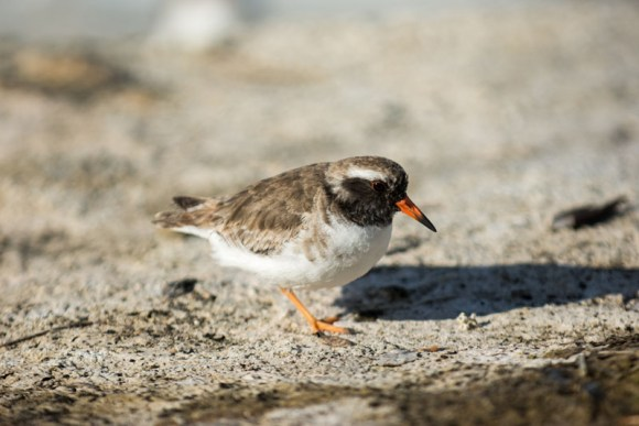 Shore plover. Photo: Leon Berard | CC BY-NC 2.0.
