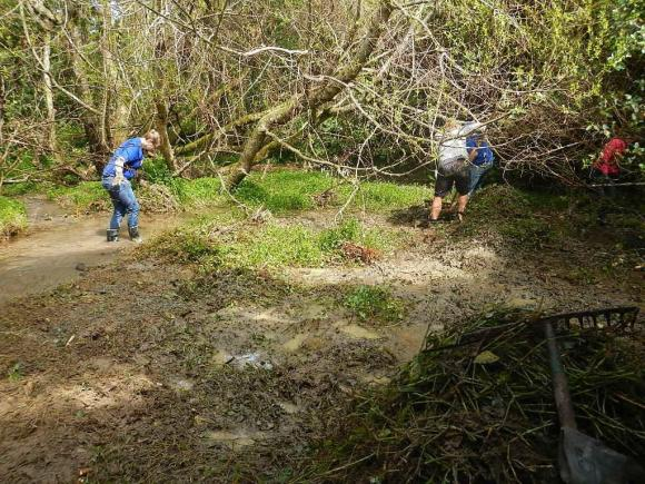 Volunteers wading through mud to remove wandering willie weeds.
