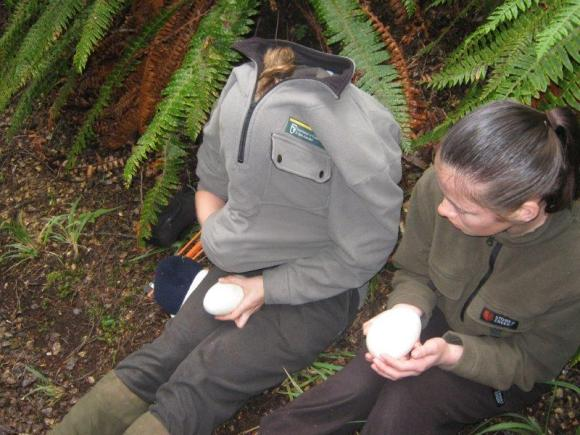Ranger Jenny checking the air pocket in the eggs.