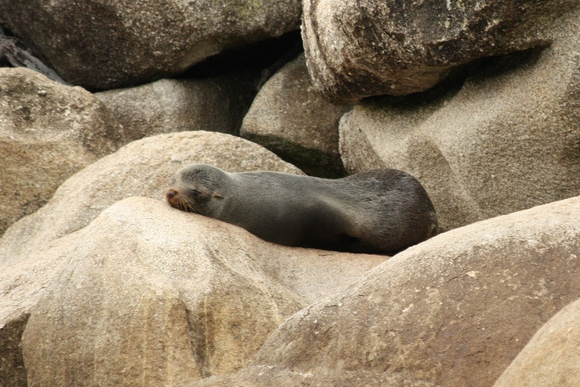 Sleeping New Zealand fur seal. Photo: Sarah Beall | CC BY NC-ND 2.0.