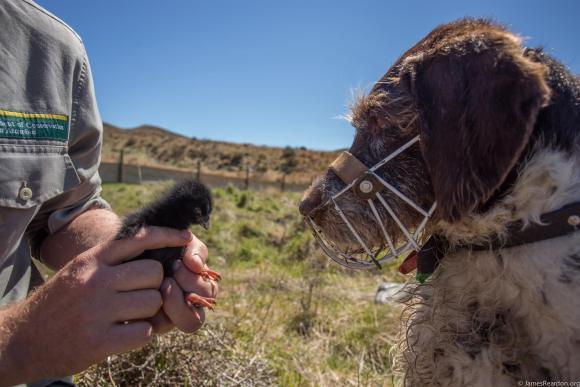 Takahē chick at Burwood. Photo: James Reardon.