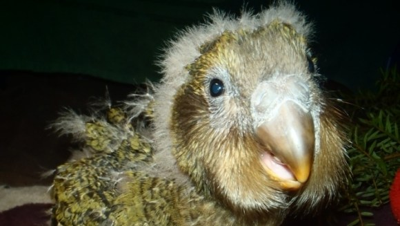 Ruapuke the kākāpō chick that hatched in 2014.