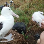 Royal Cam albatross and chick.