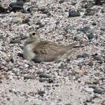 New Zealand dotterel nesting.