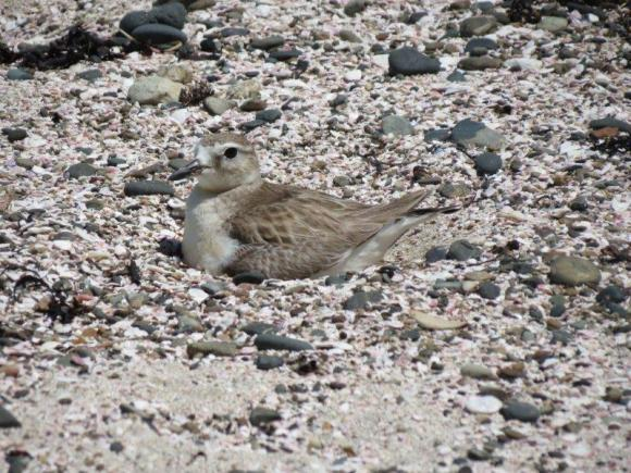 Dotterel mum sitting on the nest.