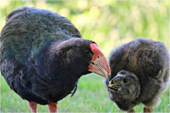 Takahe and chick. Photo: Sian Moffitt