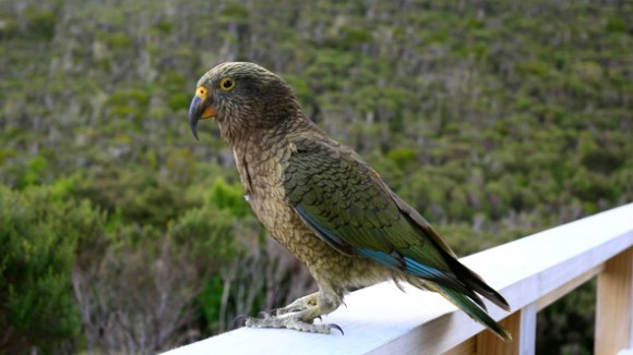 A kea visiting a hut along the Heaphy Track.