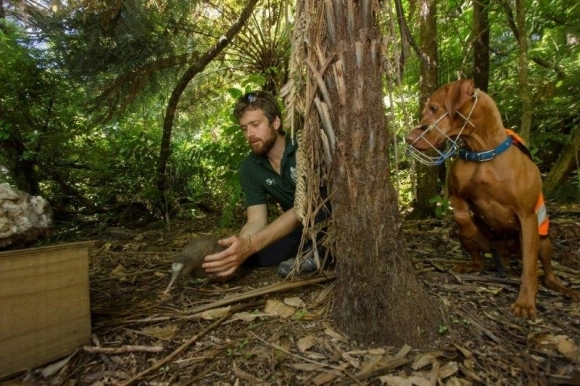 Rein the kiwi conservation dog with handler Iain Graham.