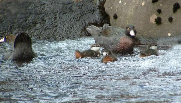 blue-duck-faily-tyronne-smith