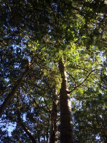 Kauri tree at Taheka Scenic Reserve.