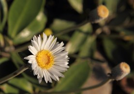 Marlborough rock daisy. Photo: Kyle Bland