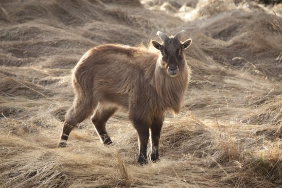 Tahr. Photo: Meena Explores | CC BY NC-ND 2.0.