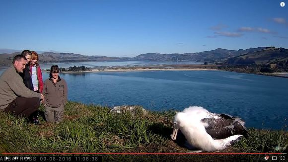Moana the albatross on the royalcam webcam.