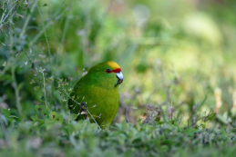 Yellow-crowned kākāriki.