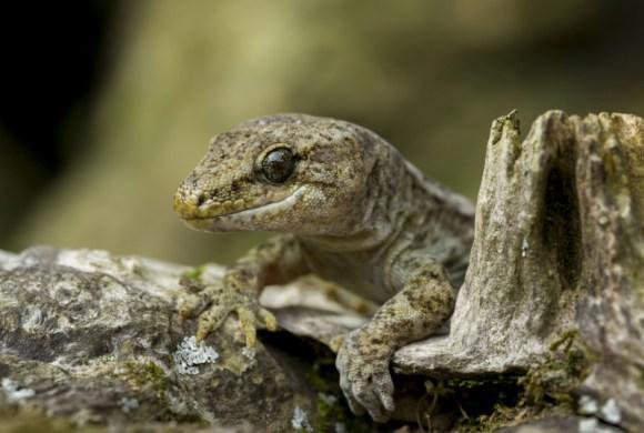 Common gecko. © Sabine Bernert