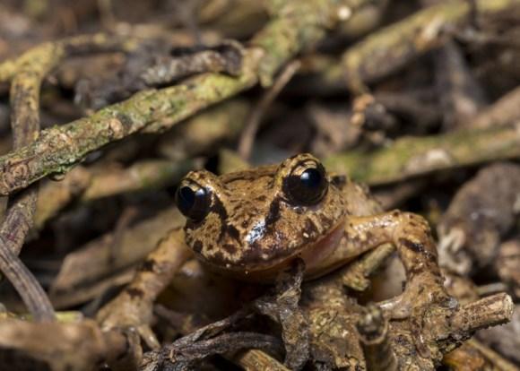 Hamilton's frog. © Sabine Bernert