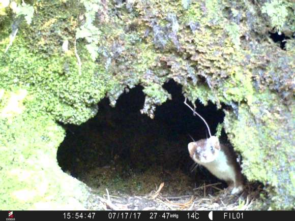 Stoat at Filibuster Fortuna nest