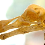 Dodo skeleton. Photo: Josh More   CC BY-NC-ND 2.0