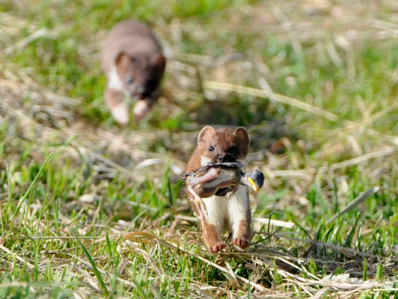 stoat-with-chick.jpg