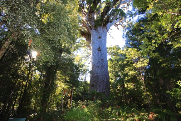 Tane Mahuta. Photo: itravelNZ (CC by 2.0)