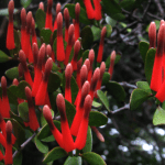 New Zealand scarlet mistletoe.