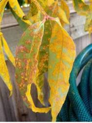 Leaves afflicted with myrtle rust.