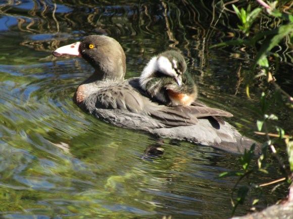 Mum and baby whio. Photo: Victoria Buckley.