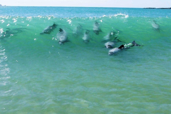 Hector's dolphins playing in the surf..