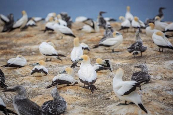 Takapu/Australasian gannet.