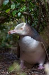 Hoiho/yellow-eyed penguin.
