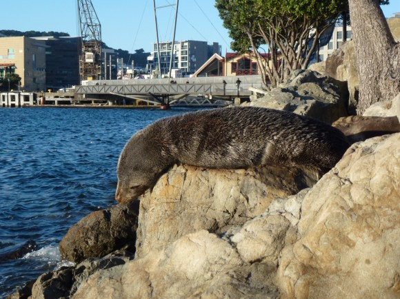 Seal in Wellington.