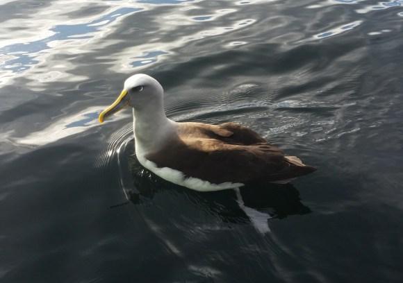 Buller's albatross.