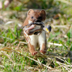 Stoat with chick. Photo by Dave Hallet