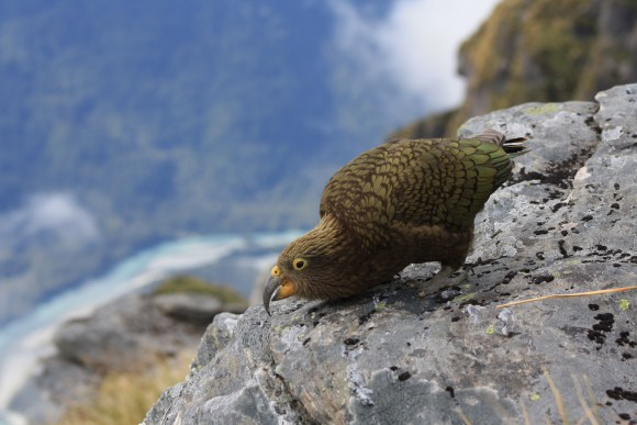Kea around the Haast Range.