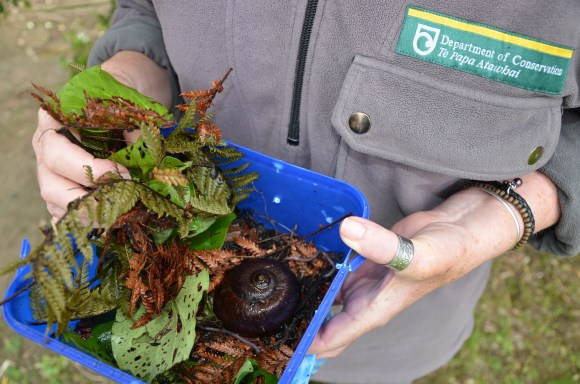 The powelliphanta snail is packed in damp moss with a few earthworm snacks for its return to Nelson_(c)DOC