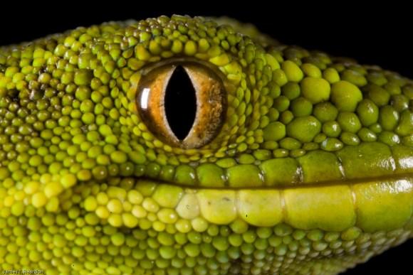 lizard-whenua-hou-codfish-island.jpg