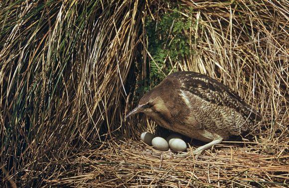 bittern-nesting-1200.jpg