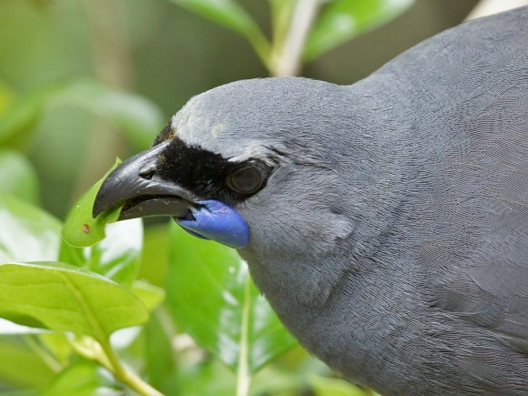 kokako-close-up-david-cook.jpg