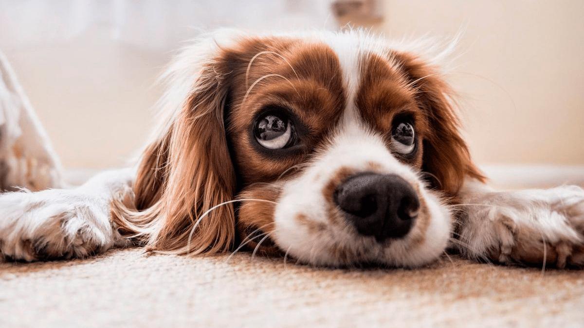 Perro estreñido a causa de una alimentación inadecuada