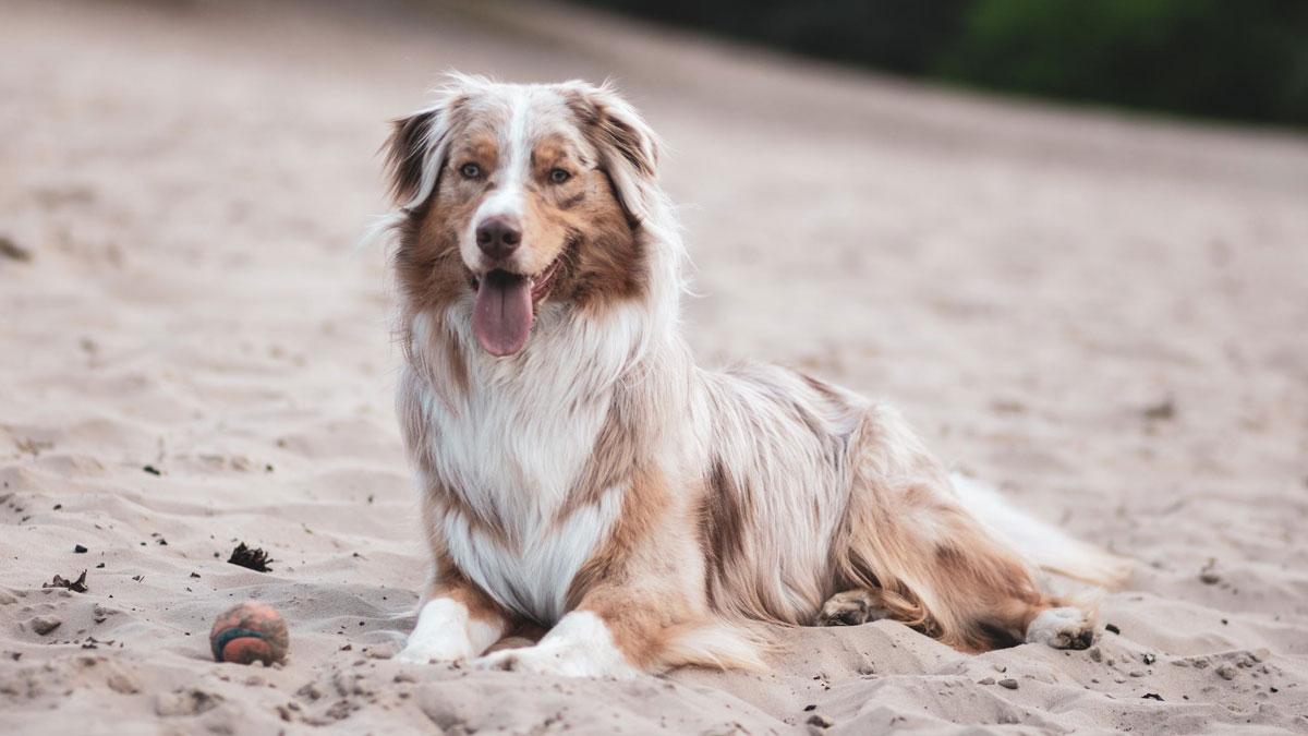 Perro diabético que mejora su alimentación con comida natural