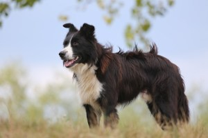 Border collie i naturen