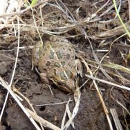 Spotted Grass Frog (Limnodynastes tasmaniensis)
