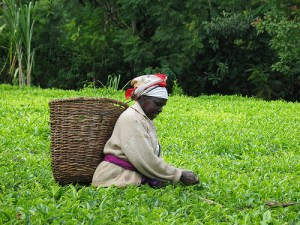 Kenyan Tea Field
