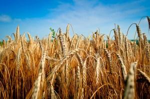 Fields of wheat.