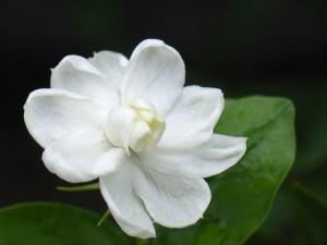 Jasmine flower for producing scented tea.
