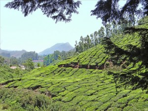 Indian Tea bushes on a hillside in India