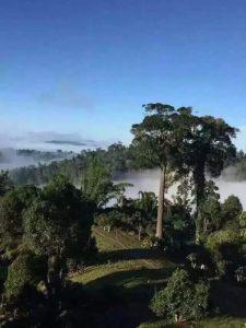Cloud and mist shrouded tea trees of Yunnan Province