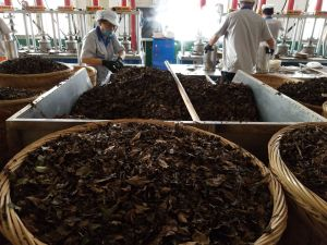 Aged White Tea Manufacturing in Fuding